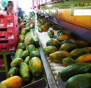 Skybury Papaya Packhouse Case Study