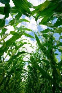 """(Novozymes Avantec) allows you to save a lot of corn and still produce the same amount of ethanol."""