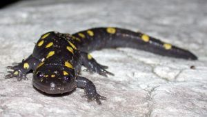 We can look to salamanders as a template of what perfect regeneration looks like.