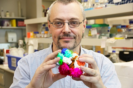 Associate Professor Oakley holding a model of the molecular structure of the DNA clamp (purple section), made with a 3D printer. (Image: University of Wollongong)