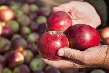 Tynong facility aims to improve competitiveness and sustainability of Australia's apple supply chain.