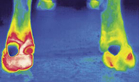 Infrared image clearly displays an inflammatory process in the bull's hoof