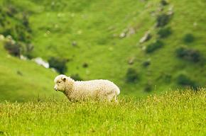 This latest finding could help improve lamb survival rates in Australia.
