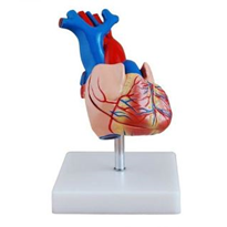 Life Size Heart Model | C-307A