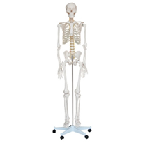 Life Size Skeleton 180cm Tall | XC-101