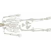 Disarticulated Skeleton with Skull | XC-130
