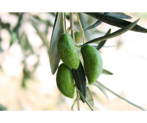 Long term low doses of virgin olive oil may have a protective effect on inflammatory disease due in part to the effects of oleocanthal.