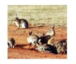 Rabbits: a threat to conservation and natural resource management