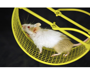Mice, unlike humans, pick up the motivation to exercise.