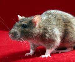 Rats and mice are most prevalent in the colder months as they seek refuge indoors, looking for both shelter and food.