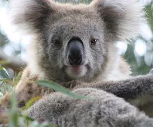 The humble koala may be the new indicator of whether mine site rehabilitation is deemed a success.