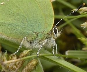 The design for this crystal was inspired by the Callophrys Rubi butterfly, also known as the Green Hairstreak.