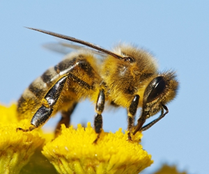 Researchers trained honey bees to land on discs that were placed vertically, and filmed them using high speed video cameras.