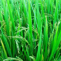 Waste rice crops 'could' provide sustainable fuels for the future