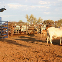 Aust cattle stations test 'revolutionary' grazing technology