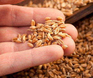 SA's grain growers have been enjoying particularly good harvests.