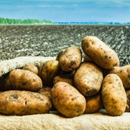 Qld potato growers to tackle key production issues