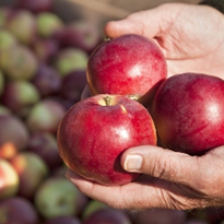 30% of Australia's apples to be produced at new facility in Tynong
