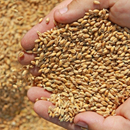 New code aims to improve wheat export regulations