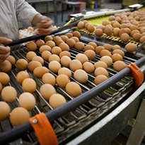 Food firms 'could' feel pressure from free-range egg shift
