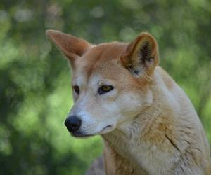 """By helping dingoes thrive, we expect … improved returns to cattle graziers."""