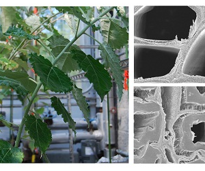 Poplar stems (left) respond to bending stress by producing tension wood, which has characteristics desirable in a bioenergy feedstock.Electron micrographs from a comprehensive BESC study reveal how tension wood (bottom right) develops a secondary cell wall layer, in contrast to normal wood (top right).