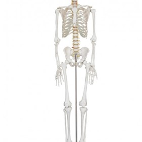 Human Plastic Skeleton for study of Human Anatomy
