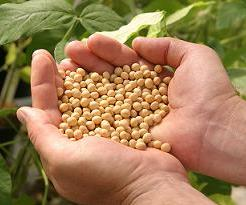 Bunya soybeans are larger than other varieties. Image by CSIRO.