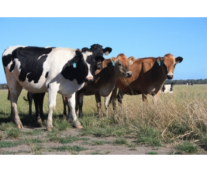 The robotic rotary is designed for Australian grazing herds with more than 300 cows.